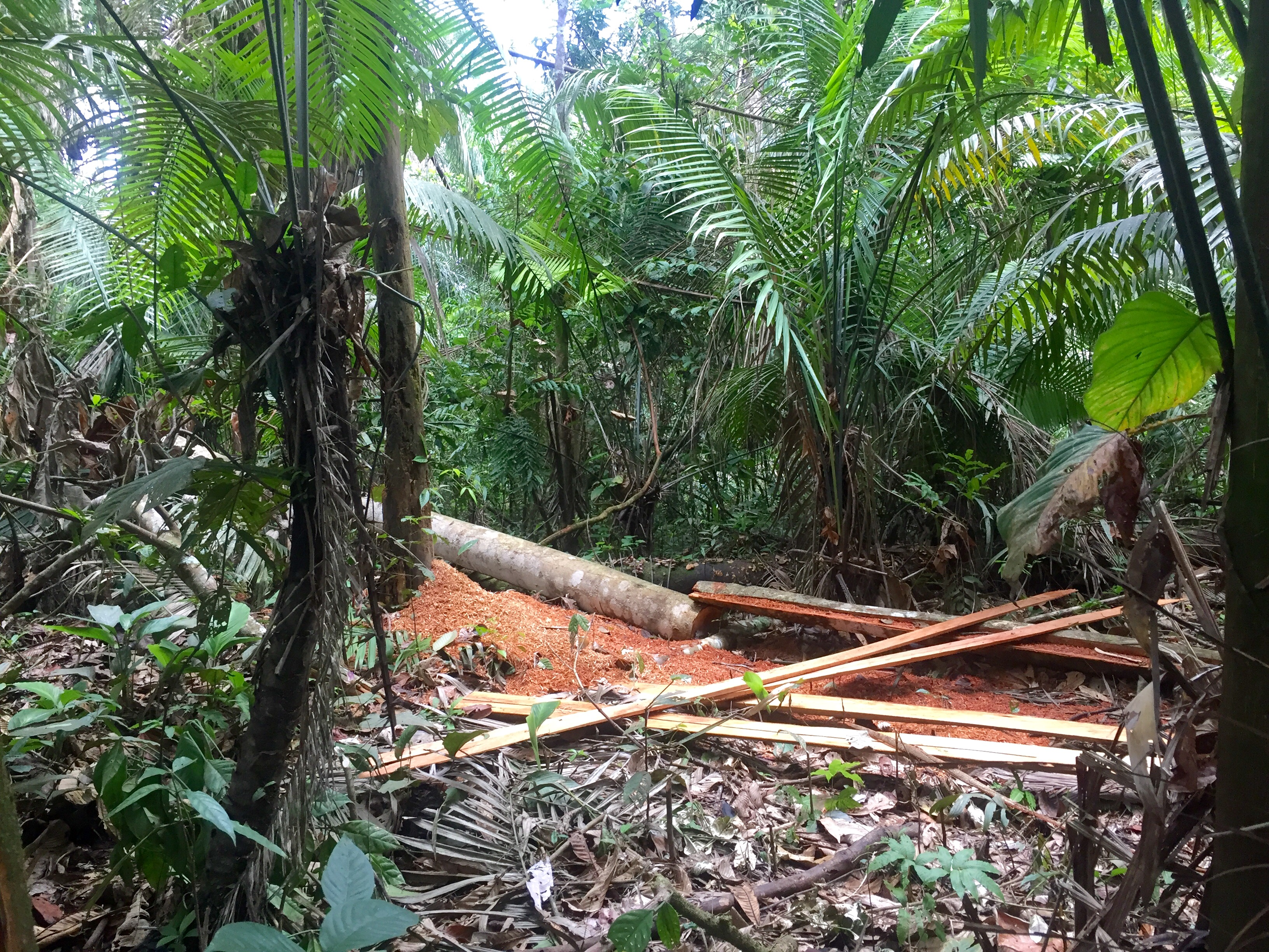 Cut down trees in the rainforest during our daily treks.