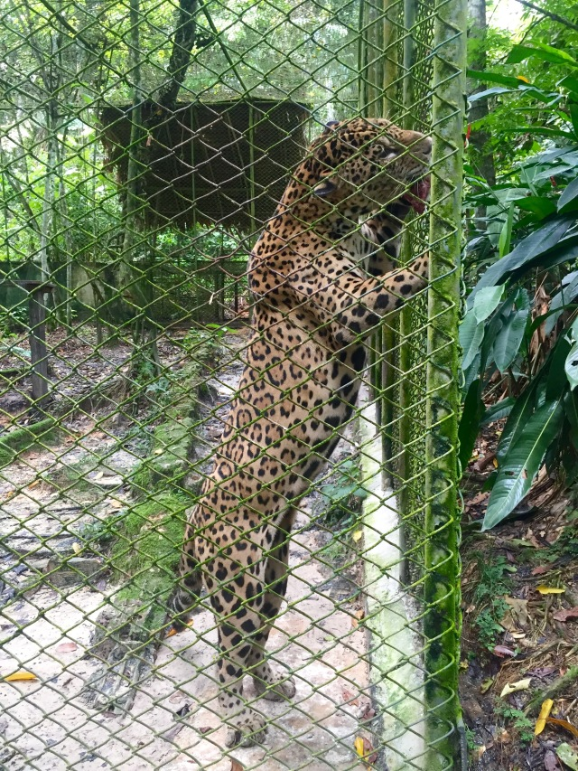 Pedro the Jaguar.