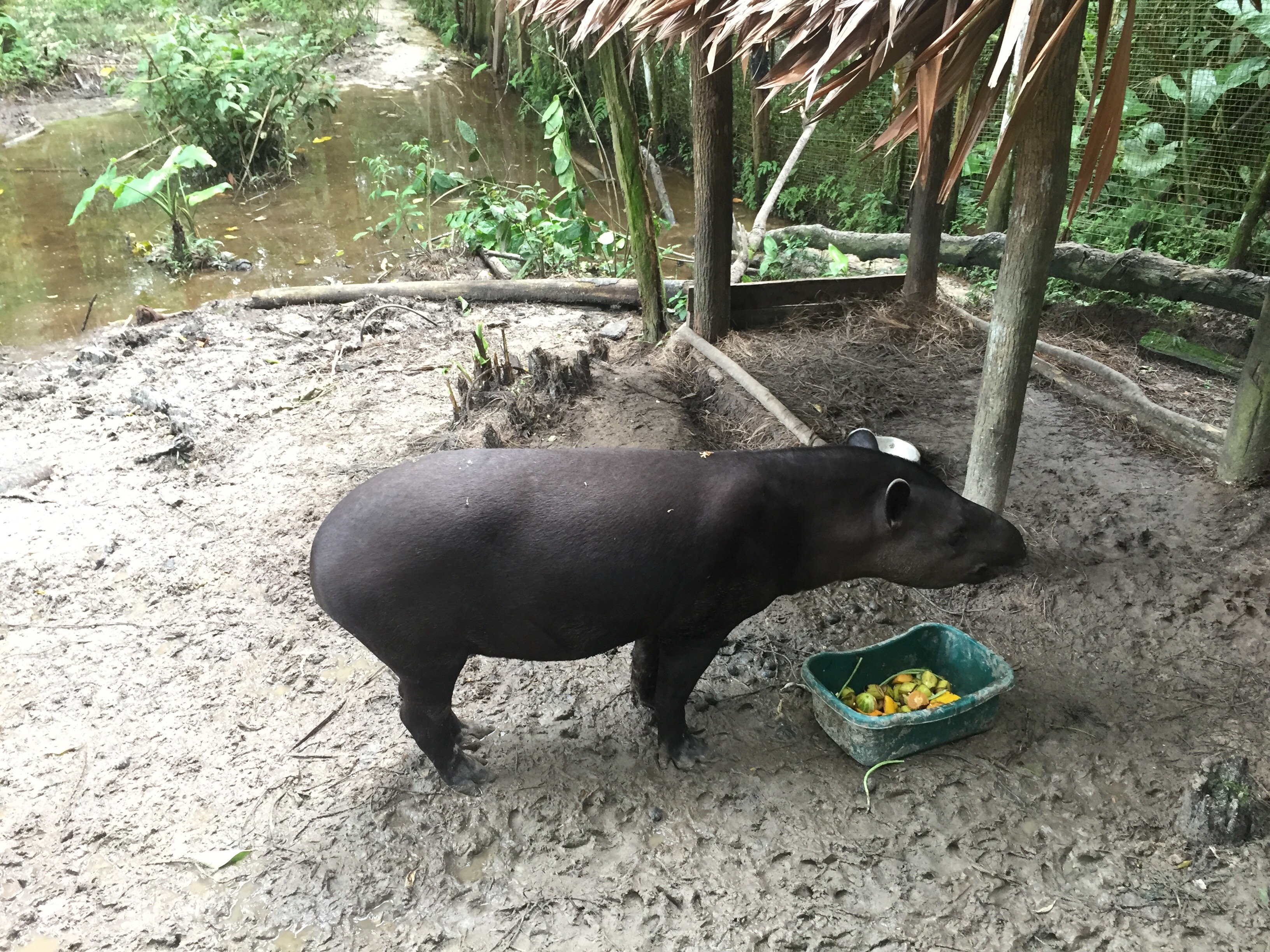 A small tapir at the orphanage.