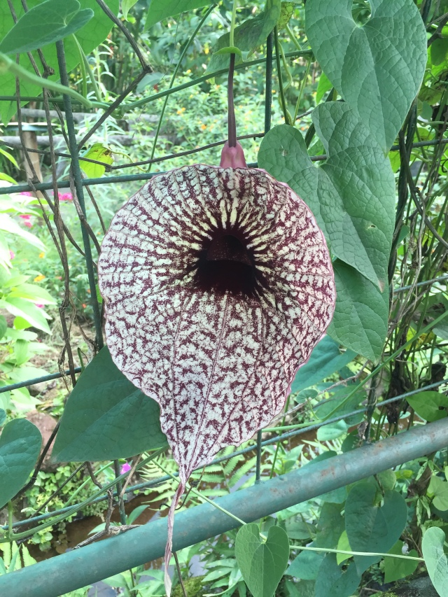 The aristolocia gran biflora, the largest flower in central america. more info.
