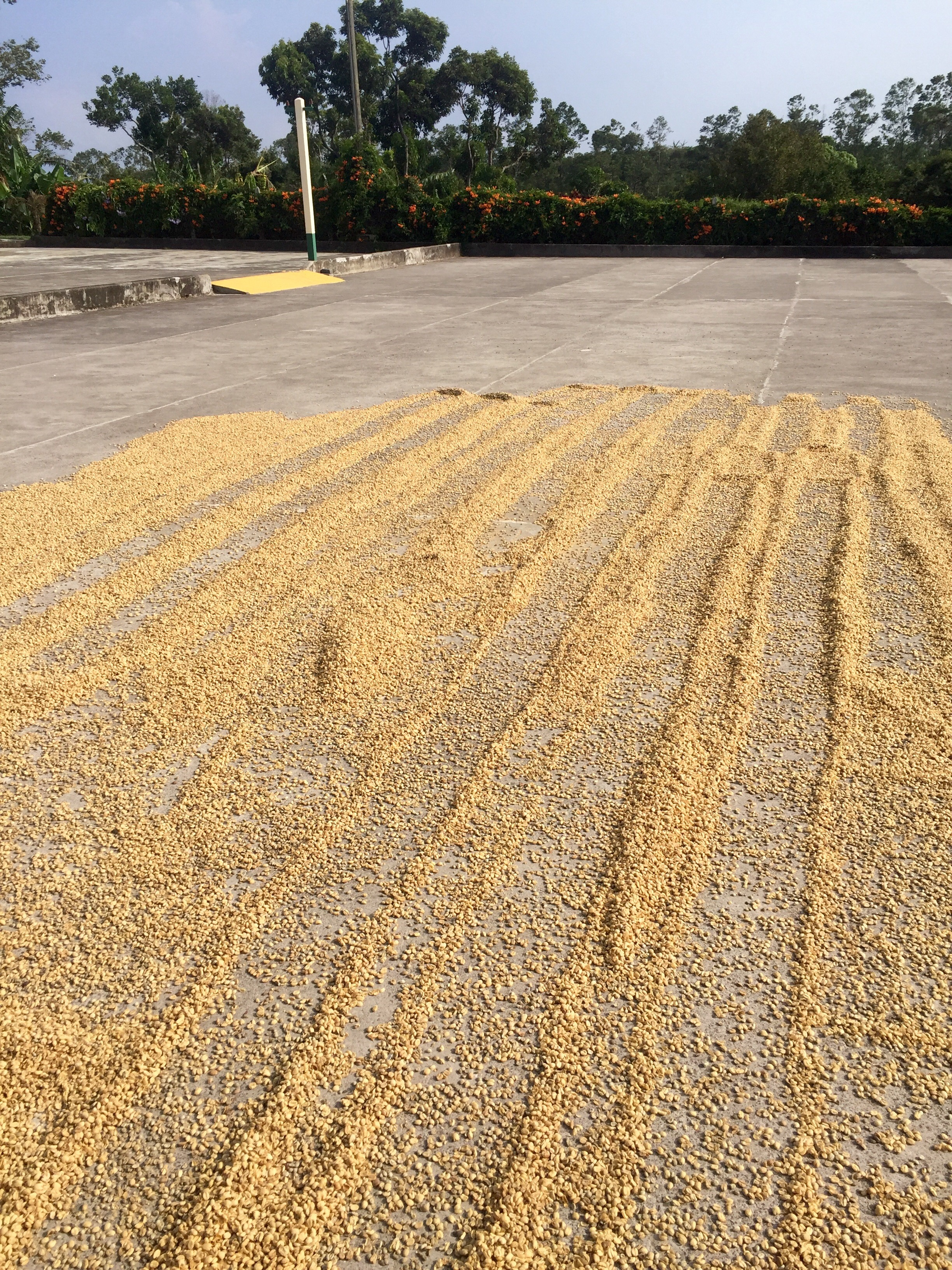 The process of drying coffee beans at Doke Estate.